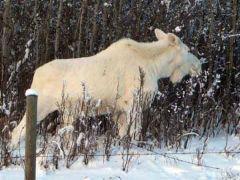 Белый лось: обречен с рождения?