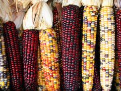 Трансгенная кукуруза – реакция независимых ученых