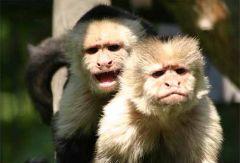 Двое ученых из Йельского университета (экономист и психолог) решили научить обезьян пользоваться деньгами. И у них получилось.