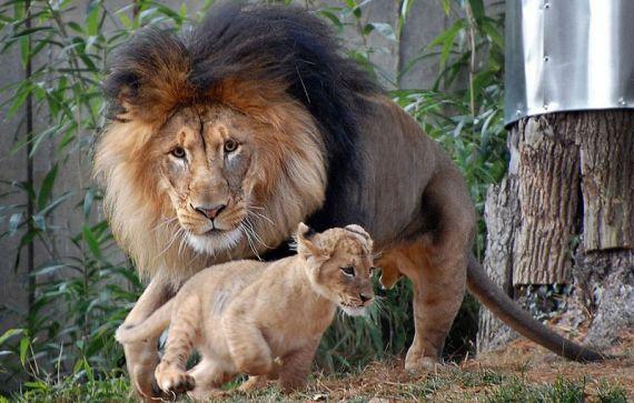 Его поступок раздразнил льва.