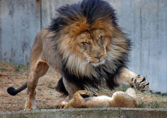 Вот они уже вовсю играют, но, кажется, лев немного не рассчитал силы.