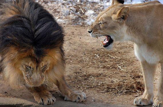 Тут как тут появляется львица и ругает отца семейства.