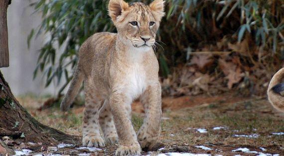 С такой мамой этому львенку ничего не страшно.
